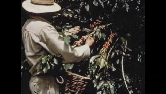 1950s: Pedestrians and cars navigate city streets in Colombia. Farmer picks coffee beans from bush. Hands pull coffee beans from limb.